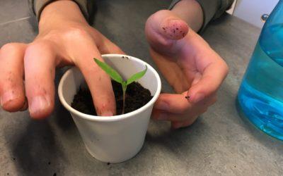 Chili-plantering